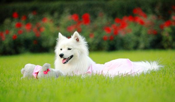 可爱的银狐犬图片