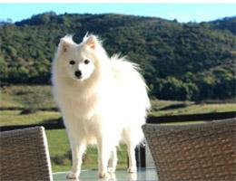 成年银狐犬图片