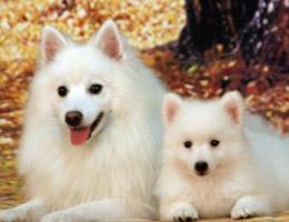 标准银狐犬图片欣赏