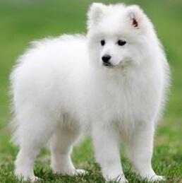 银狐犬整体图片