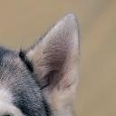 哈士奇耳朵图片