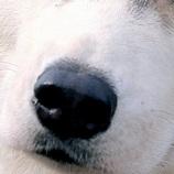哈士奇鼻子图片