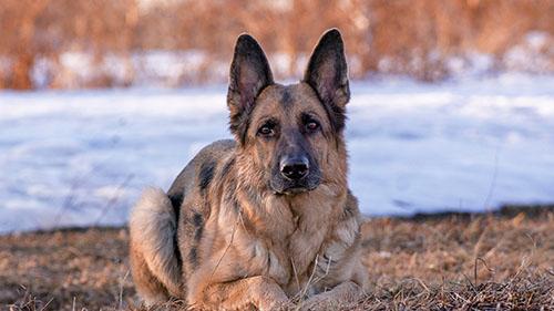 可爱的德国牧羊犬图片