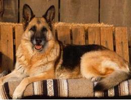 成年德国牧羊犬图片
