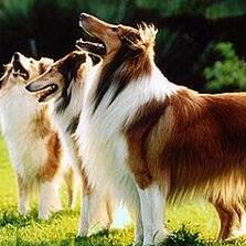 苏格兰牧羊犬颜色图片