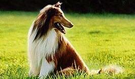 苏格兰牧羊犬图片
