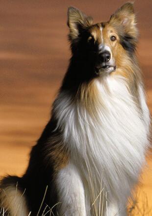 苏格兰牧羊犬高清图片