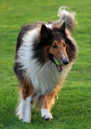 纯种苏格兰牧羊犬图片