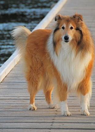 可爱的苏格兰牧羊犬图片
