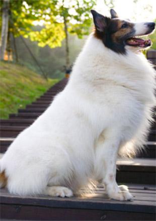 标准苏格兰牧羊犬图片欣赏