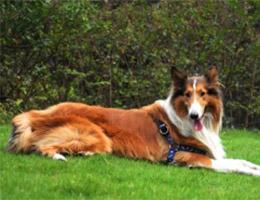 成年苏格兰牧羊犬图片