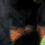 罗威纳犬胸部图片