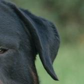 罗威纳犬耳朵图片