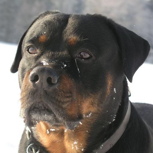 罗威纳犬头部图片