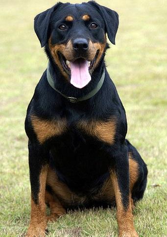 罗威纳犬高清图片