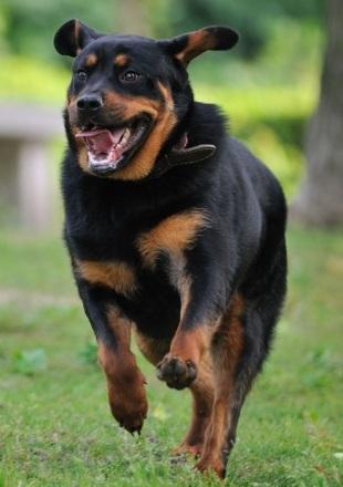 罗威纳犬幼犬图片
