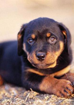 成年罗威纳犬图片