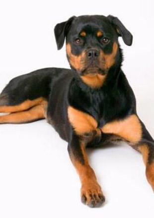 标准罗威纳犬图片欣赏