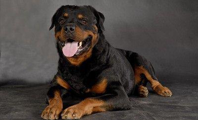 可爱的罗威纳犬图片