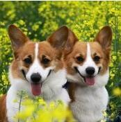 柯基犬颜色图片