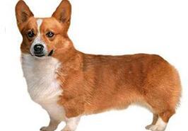 柯基犬幼犬图片