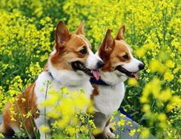 标准柯基犬图片欣赏