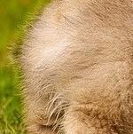 柯基犬尾巴图片
