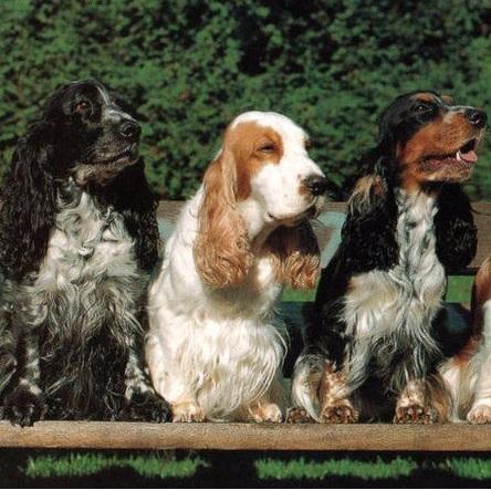 可卡犬颜色图片