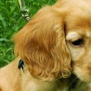 可卡犬耳朵图片