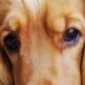 可卡犬眼睛图片