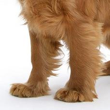 可卡犬前驱图片