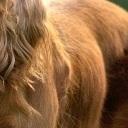 可卡犬毛发图片