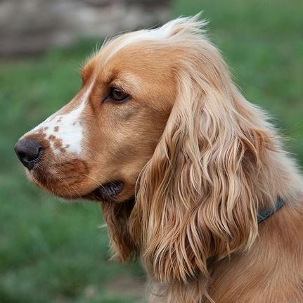 可卡犬头部图片