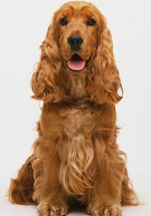 可卡犬高清图片