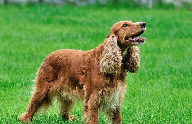 可卡犬幼犬图片