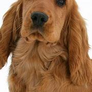 可卡犬颈部图片