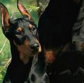 杜宾犬毛发图片