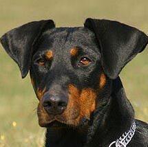 杜宾犬头部图片