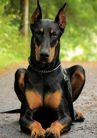 杜宾犬高清图片