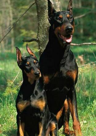 纯种杜宾犬图片