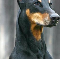 杜宾犬颈部图片
