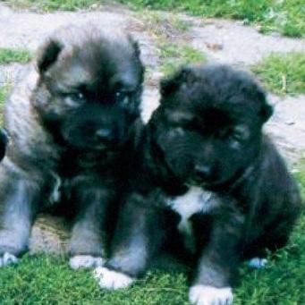 高加索犬颜色图片