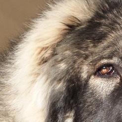 高加索犬耳朵图片
