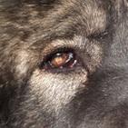 高加索犬眼睛图片