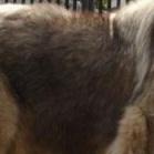 高加索犬毛发图片