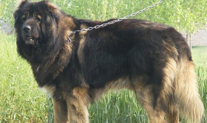 高加索犬幼犬图片