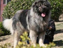 成年高加索犬图片