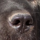 高加索犬鼻子图片