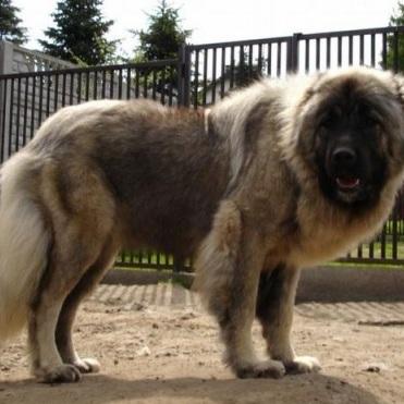 高加索犬整体图片