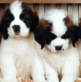 圣伯纳犬颜色图片